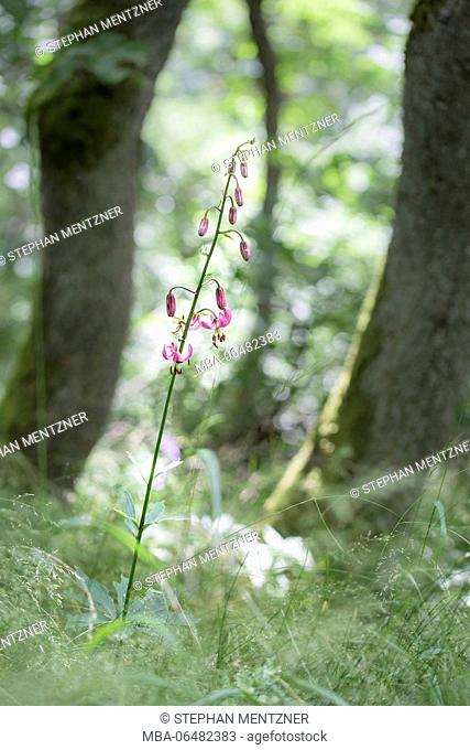 martagon lily, Lilium martagon, martagon lily lily, Gangolfsberg, Hohe Rhön, Rhön-Grabfeld, Bavaria, Germany