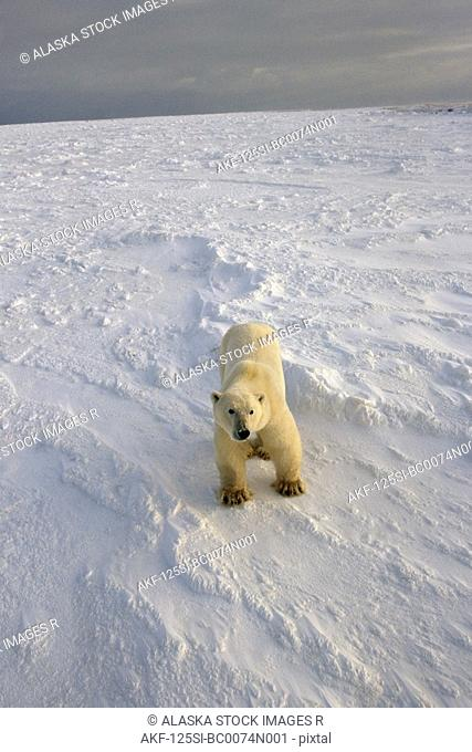 Polar Bear on Pack Ice Cape Churchill Canada