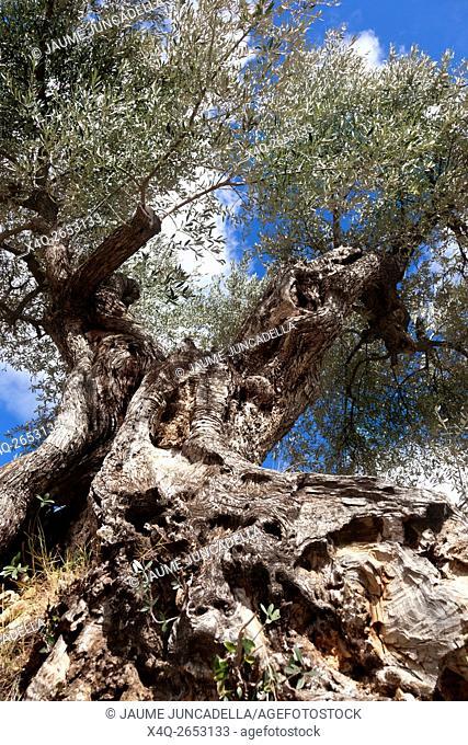 Olive Tree in Matarranya. Teruel