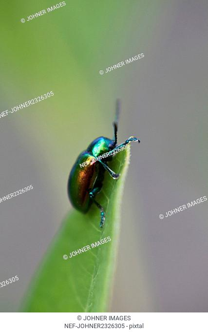 Green beetle on leaf