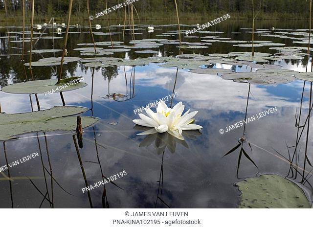 Waterlily Nymphaea spec. - Fulufjället National Park, Mörkret, Dalarna, Svealand, Sweden, Scandinavia, Europe
