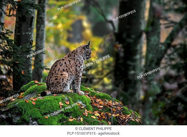 Eurasian lynx (Lynx lynx) sitting on rock in dense forest in autumn