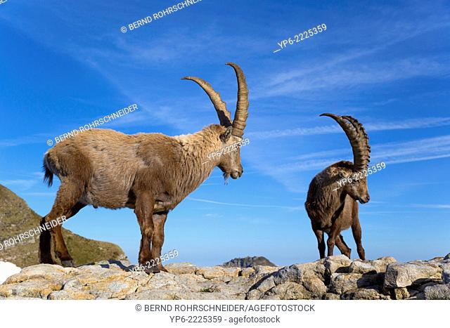 male Alpine Ibexes (Capra ibex) standing on rock, Niederhorn, Switzerland