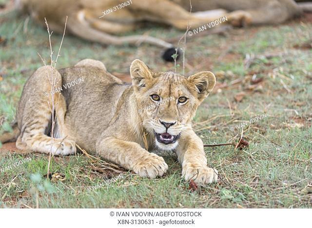 Lion, Pantera Leo, Tanzania, East Africa