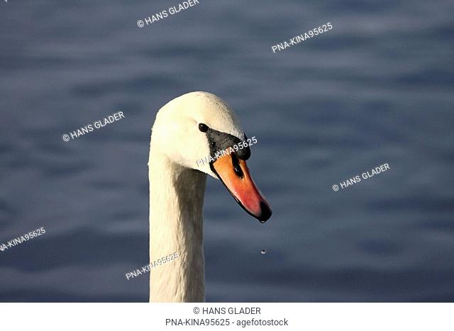 Mute Swan Cygnus olor - Austria, Europe