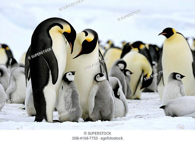 Antarctica, Weddell Sea, Snow Hill Island, Emperor Penguin Aptenodytes Forsteri colony of adults with chicks