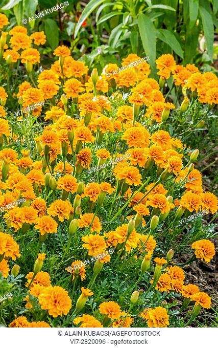 Perfection Orange Marigold / Tagetes erecta 'Perfection Orange'