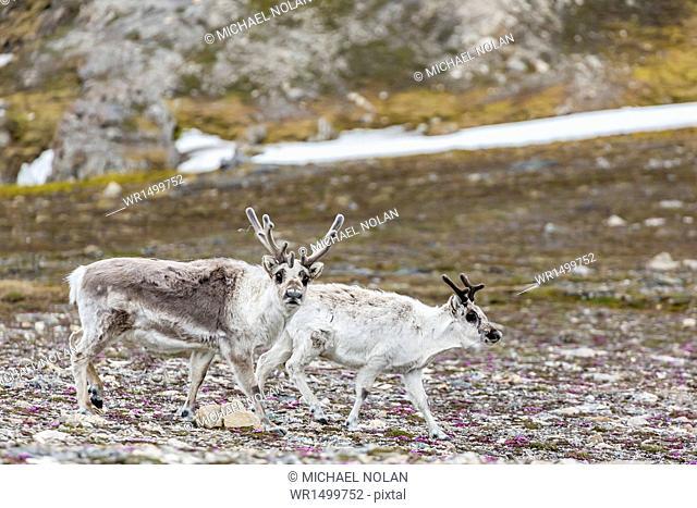 Male and female Svalbard reindeer (Rangifer tarandus platyrhynchus) at Gosbergkilen, Spitsbergen, Svalbard, Norway, Scandinavia, Europe