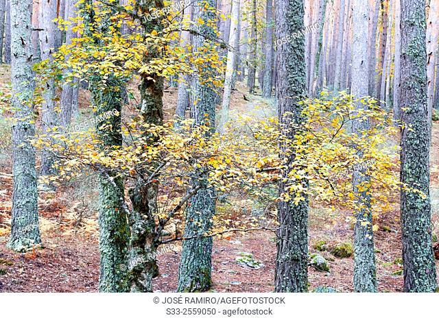 Pinesl in the Canencia Birch. Sierra de la Morcuera. Madrid. Spain. Europe