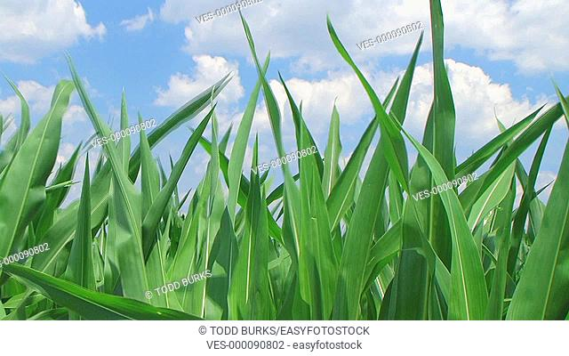 Close-up of corn against sky with gentle breeze