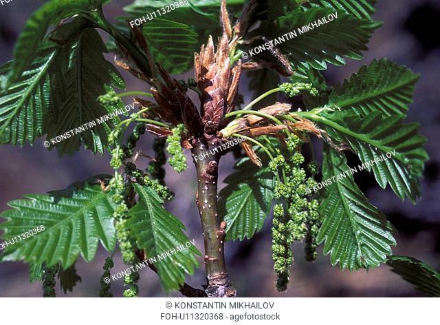 East Siberia, Eatern Siberia, Siberia, branch, close-up, flora