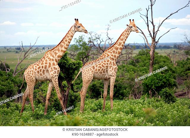 Two Giraffes standing in the green bush and looking over, Giraffa Camelopardalis, Chobe National Park, Botswana, Africa