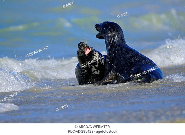 Grey Seals, young males, Dune of Heligoland, Schleswig-Holstein, Germany / Halichoerus grypus