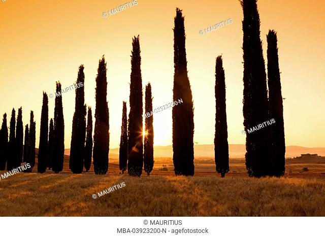Cypresses as a silhouette at a barley field with sunrise