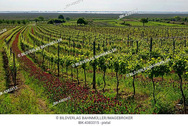 Vineyard, crimson or Italian clover (Trifolium incarnatum) between vines, Lake Neusiedl, Rust, Burgenland, Austria