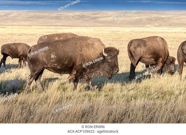 Plains Bison (Bison bison bison), Grasslands National Park, Saskatchewan, Canada