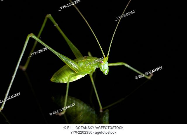 Green Katydid Species - Camp Lula Sams - Brownsville, Texas USA