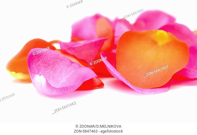beauty rose petals isolated on white