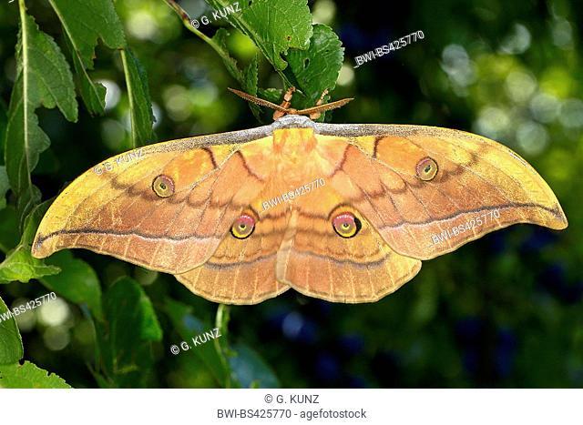 Japanese silk moth, Japanese oak silkmoth (Antheraea yamamai), female, Austria