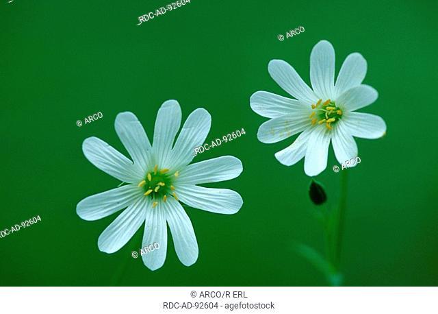 Greater Stitchwort Schleswig-Holstein Germany Stellaria holostea