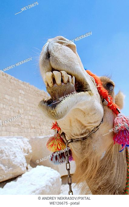 Camel (Camelus dromedarius) near Tower tomb at Palmyra, Syria