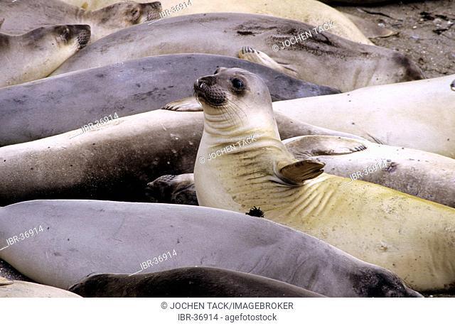 USA, United States of America, California: sea lions, Highway No. 1 near Moro Bay