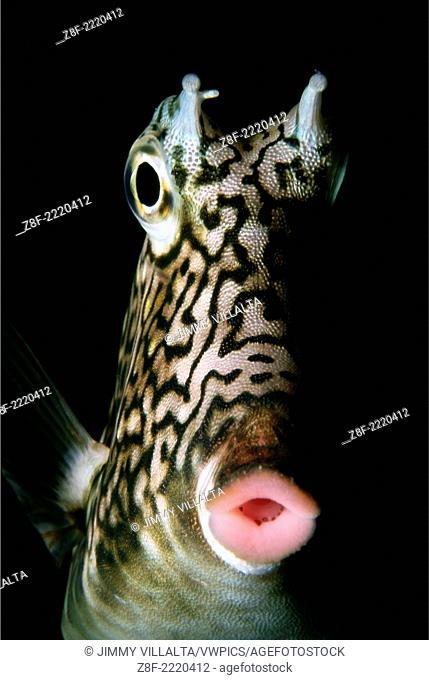 Head of Honeycomb Cowfish. Chichiriviche de la Costa. Venezuela