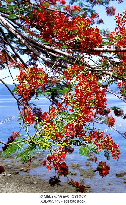 Flower of Galala tree  Ambon island  Moluccas islands  Indonesia
