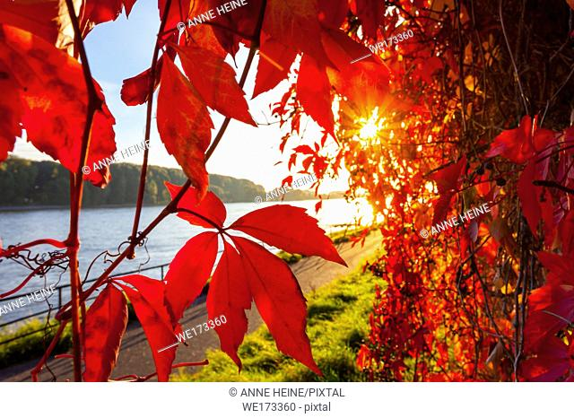 Vibrant red backlit Vine Leaves along River Rhine in Bonn ,Germany