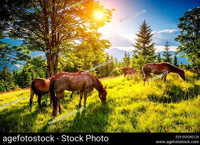 Dirty horses grazing in the pasture that is illuminated by the sun. Picturesque and gorgeous scene. Location place Carpathian, Ukraine, Europe
