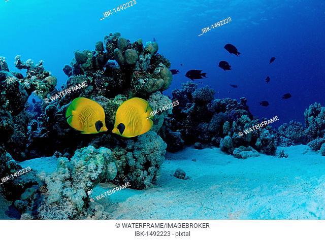 Masked Butterflyfish (Chaetodon semilarvatus), Sharm el Sheikh, Sinai, Red Sea, Egypt, Africa