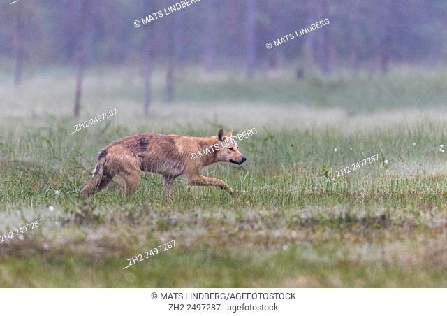 Grey wolf, Canis lupus, walking over a moss, looks like he is sneaking up on something, Kuhmo Finland