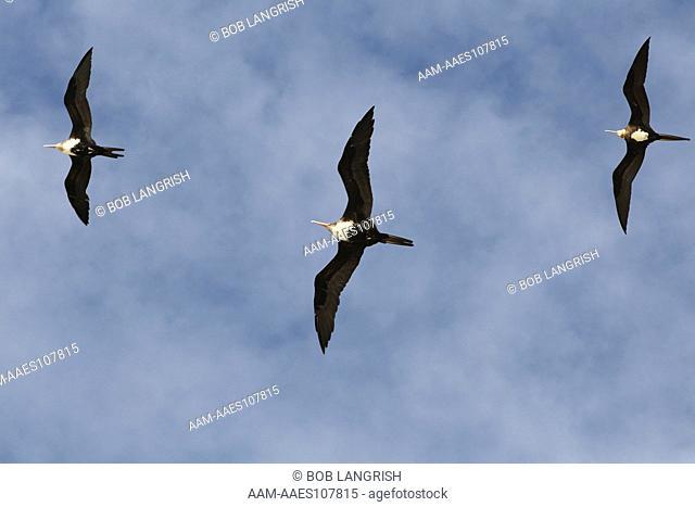 Great Frigatebird, Fregata minor Bird Island, Seychelles
