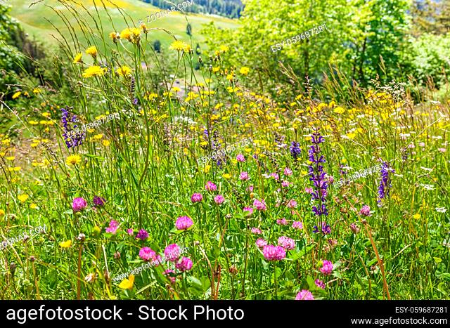 Summery mountain meadows in the rear Villnoesstal near St. Magdalena with view to the Geisler group, South Tyrol, Italy