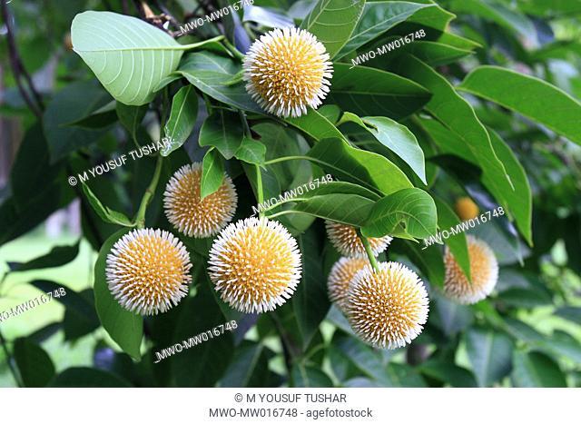 The Kadam flower, Anthocephalus cadamba, bloom during the rainy season in Bangladesh August 18, 2007