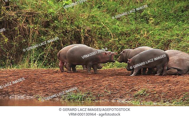 Hippopotamus, hippopotamus amphibius, Adults sleeping and Youngs playing, Masai Mara Park in Kenya, Real Time
