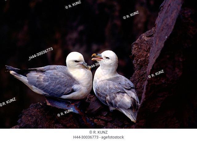 Northern Fulmar, Fulmarus glacialis, Procellariidae, couple, nest site, bird, animal, St. Abb's Head, Scotland, Great Britain