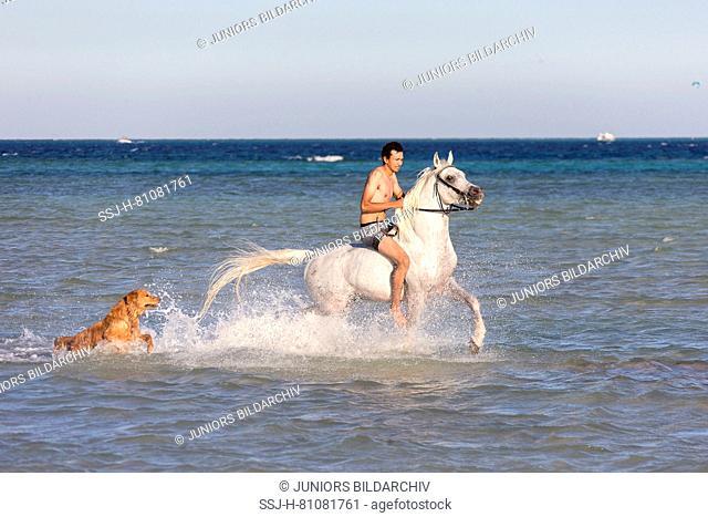 Arabian Horse. Rider an gray stallion trotting in the sea, accompanied by a Golden Retriver. Egypt