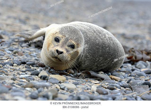 Young Harbour Seal (Phoca vitulina) lying on a pebble beach, Düne island, Helgoland, Schleswig-Holstein, Germany