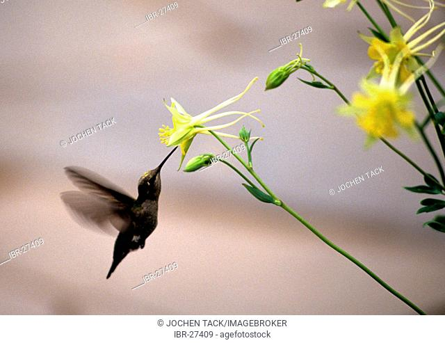 USA, United States of America, Arizona: Sonora desert, Hummingbird at a blossom