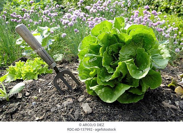 Lettuce Romana  'Remus' Lactuca sativa var longifolia