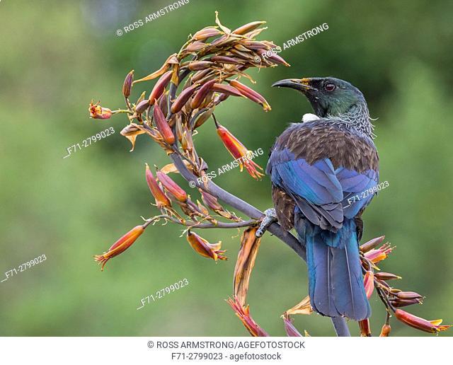 A tui (Prosthemadera novaeseelandiae) is an endemic passerine bird of New Zealand feeding on a flax plant. Whangarei, Northland, New Zealand