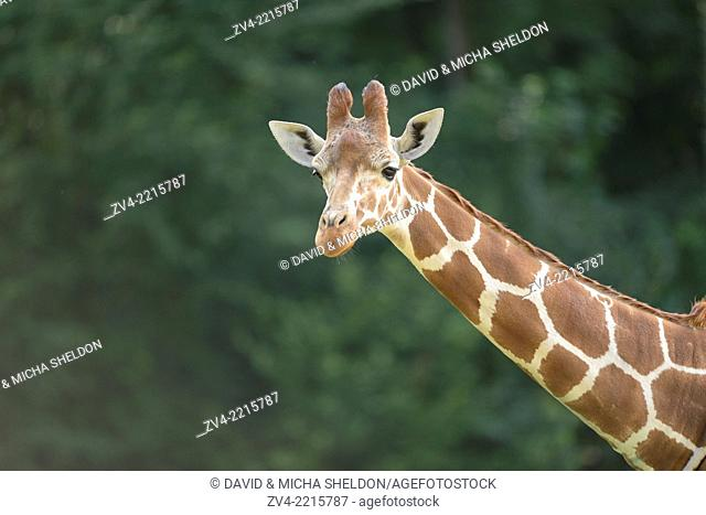 Portrait of a reticulated giraffe (Giraffa camelopardalis reticulata) in spring