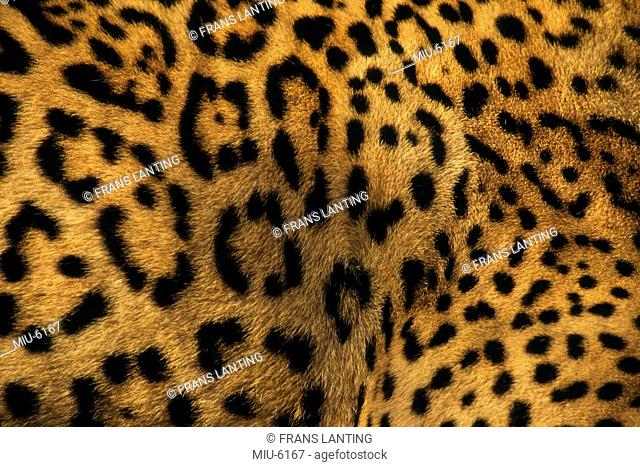 Close up of a jaguar with distinctive markings on the fur, Panthera onca, Belize