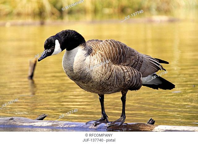 Canada goose - standing on twig in water / Branta canadensis