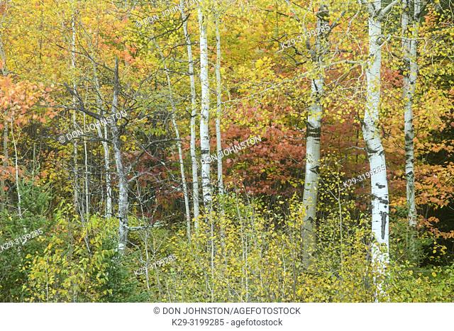 Aspen tree trunks with red maple in the understory, Greater Sudbury, Ontario, Canada