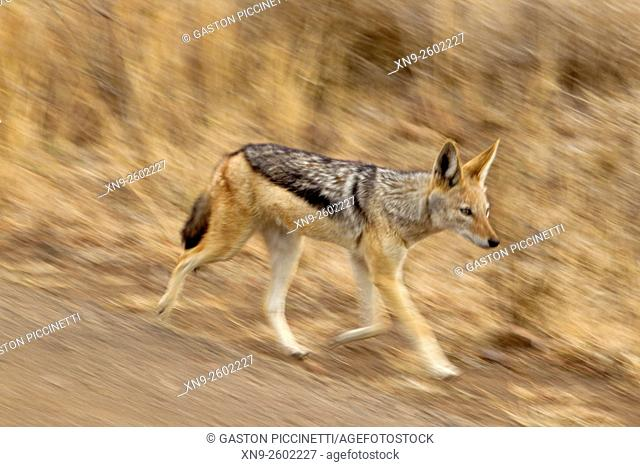 Black-backed Jackal (Canis mesomelas), Kruger Natiopnal Park, South Africa