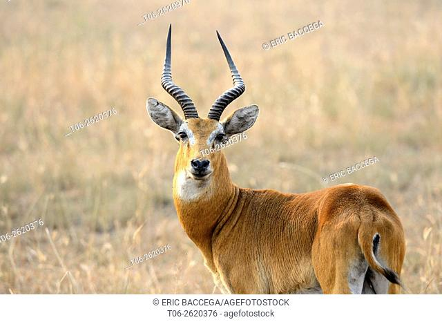 Male Uganda Kob (Kobus kob thomasi), Queen Elizabeth National Park, Uganda, Africa