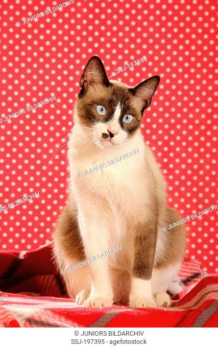 Domestic cat (4 month old) with point coloration sitting on a red checked blanket. Spain