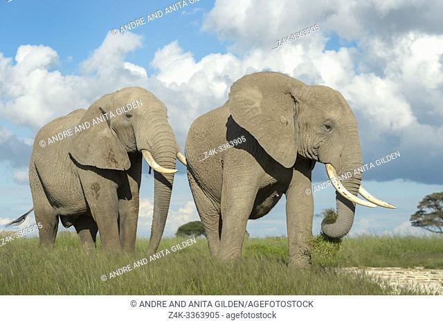 African elephant (Loxodonta africana) bull walking behind female, Amboseli national park, Kenya